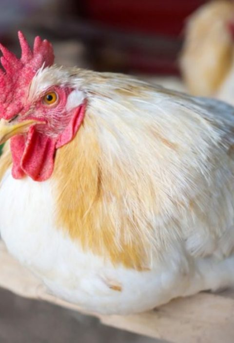 Что хочет курица?
